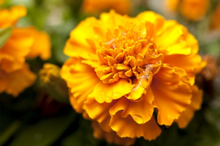 micro shot of Marigold flowers in nature light