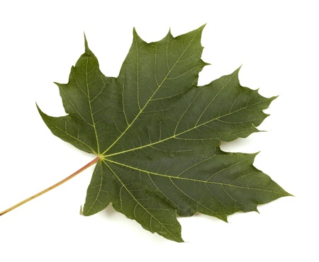 single maple leaft on white isolated background photo