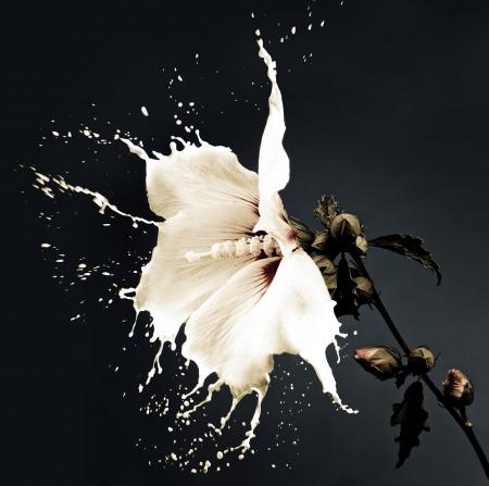 weiße Blüten mit Milch spritzen auf dunklem Hintergrund Standard-Bild
