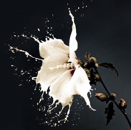 contrasts: white flowers with milk splash on dark background Stock Photo