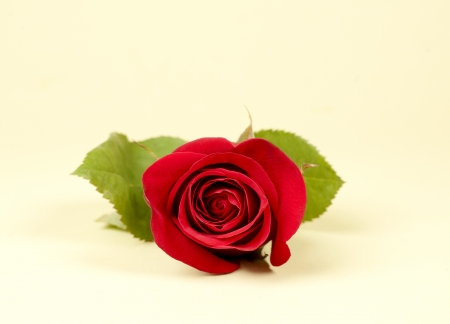 single red rose with green leaves on light background Stock Photo - 15358236