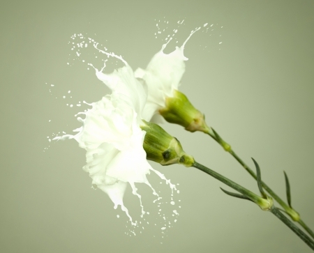 white flowers with milk splash on green background photo