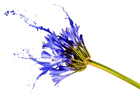 blue flower on white background with liquid blue splashes Stock Photo - 16380780