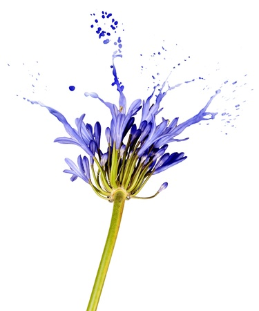 blue flower on white background with liquid blue splashes Stock Photo - 16380783