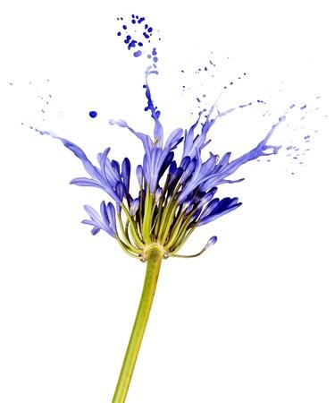 blue flower on white background with liquid blue splashes Stock Photo - 16380783