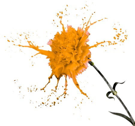 orange carnation on white isolated background with paint splash Stock Photo - 16791889