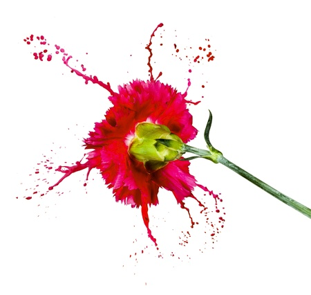 red carnation on white isolated background with paint splash photo