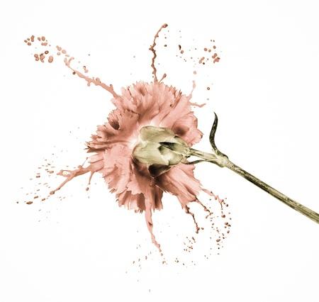 pink carnation on white isolated background with paint splash Stock Photo - 16791801