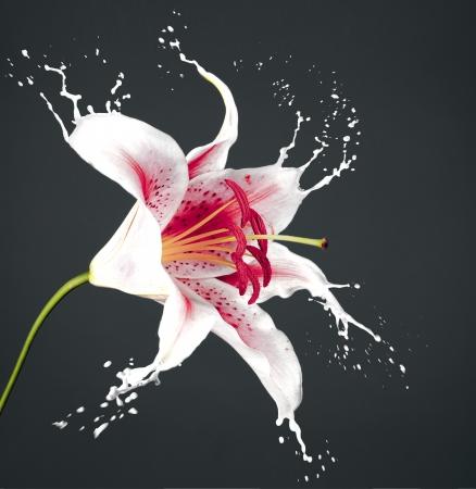 pink flower with white splashes on dark background Stock Photo - 16791817