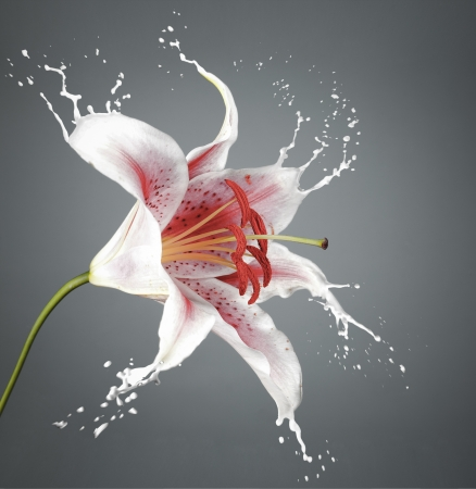 pink flower with white splashes on grey background Stock Photo - 16791822
