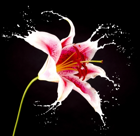 pink flower with white splashes on black background Stock Photo - 16791809