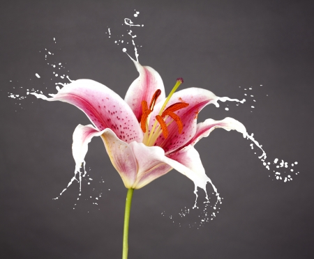 pink flower with white splashes on blue background Stock Photo - 16791821