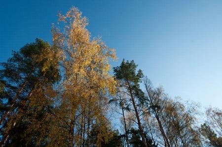 hight: autumn hight trees and the sky Stock Photo