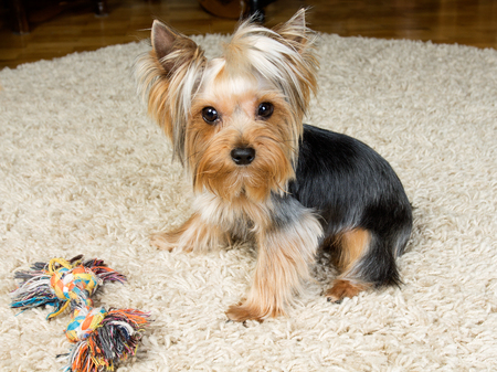 Pets. Yorkshire terrier is playing with a toy on the carpet Stock Photo