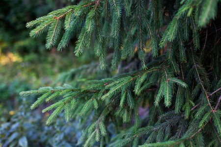 Branches of fir tree in blue-green tones