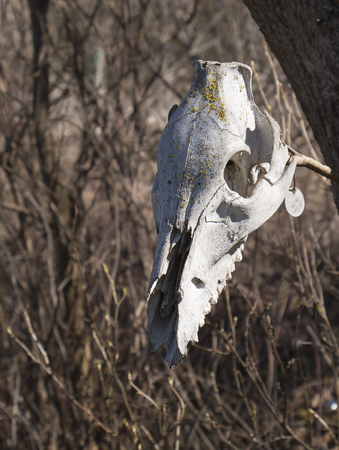 cow teeth: Skull of an animal attached to the tree