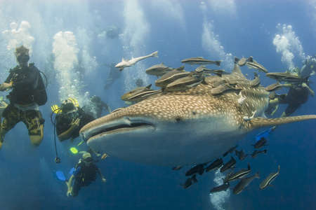 KOH TAO, THAILAND - MAY 18: A Whaleshark followed by un-indentified scuba divers near the island of Koh Tao on May 18, 2009. Koh Tao in the Gulf of Thailand is a popular destination for new divers.