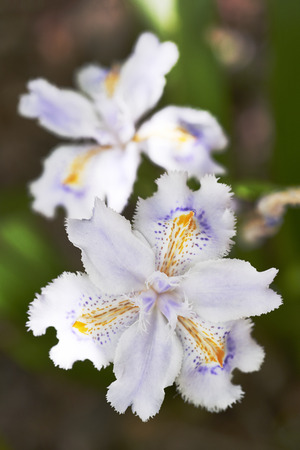 japonica: Fringed iris flowers, Iris japonica