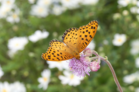 absorption: Indian fritillary Butterfly nectar