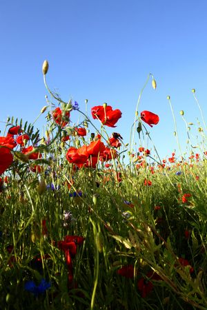 florets: poppy with blue sky in background Stock Photo
