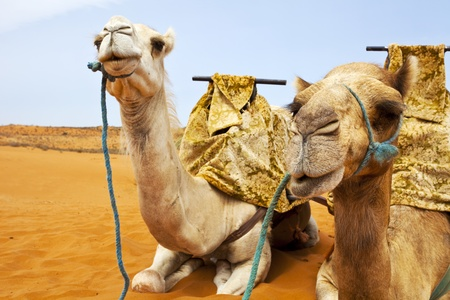 one humped: Camel on desert