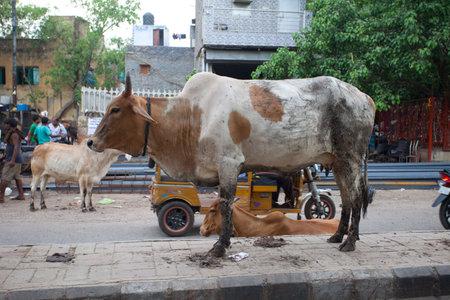 New Delhi, India - JULY 18 2018: Sacred cow on street of New Delhi