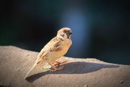 Eurasian tree sparrow on a  black roow. Close-up of a sparrow with bokerh background. Фото со стока