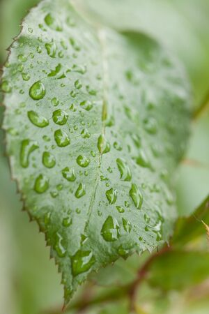 Green leaf full of raindrops. Same are big, some are small.