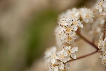 Detail of cherry flowers Stock Photo