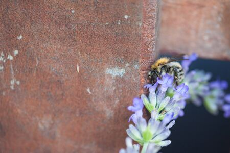Close-up of a bee on a flower of lavender