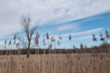 Reed grass stands against a blue-white sky. Loot of reed grass in a fied.