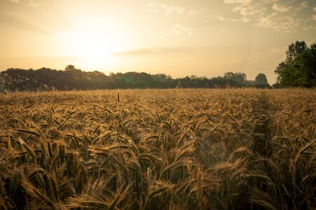 Wheat field in the early morning. Golden ears of wheat sunlit. Wheat field with blue and golden sky and trees. Archivio Fotografico