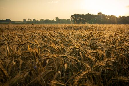 Wheat field in the early morning. Golden ears of wheat sunlit. Wheat field with blue and golden sky and trees.