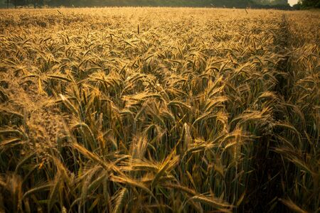 Wheat field in the early morning. Golden ears of wheat sunlit. Full frame of Wheat feald