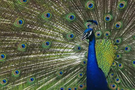 Peacock at Riverbend Park in Jupiter, Florida Banco de Imagens