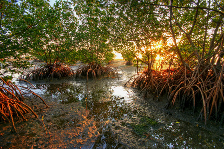 Red Mangroves at sunrise, south Florida