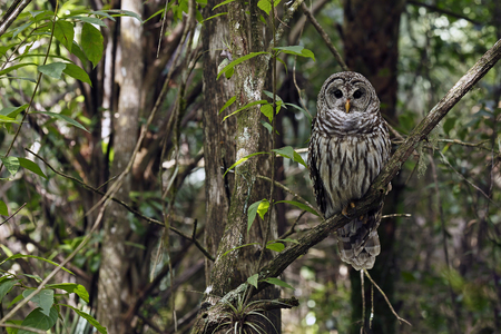 Barred Owl in Fakahatchee Strand Preserve State Park, Florida