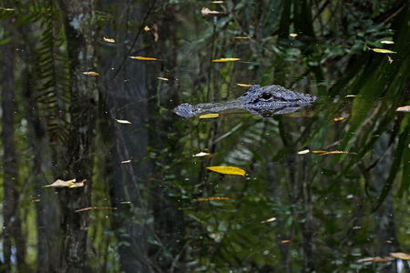 Anerican Alligator at Fakahatchee Strand Preserve State Park in Collier County, Florida