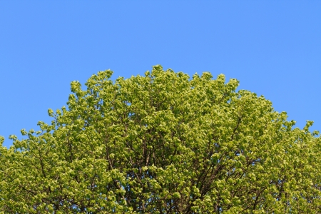 Top of green tree against deep blue sky Stock Photo - 16499669