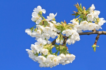 Cherry Blossom in front of blue sky (twig detail) photo