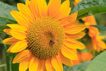 Sun flower with bee close up photo