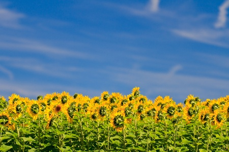 Sunflowers against deep blue sky photo