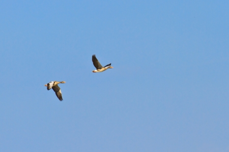 Geese migrating south against blue sky photo