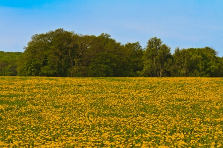 Meadow covered with lots of wild yellow flowers Stock Photo - 13908724