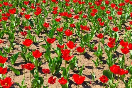 Red tulip flower fields in spring photo