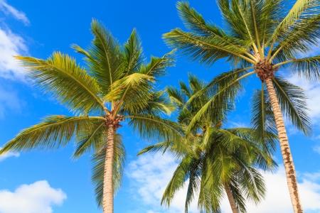 three palm trees: Three palm trees against a blue sky