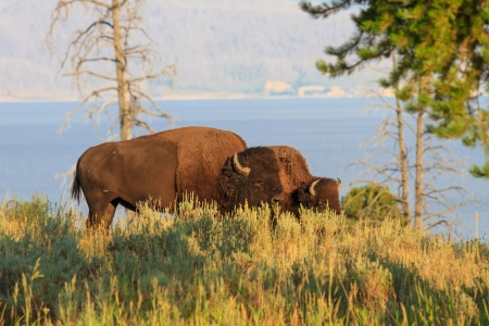 Buffalos  Bisons in high grass in Yellowstone National Park, Wyoming photo