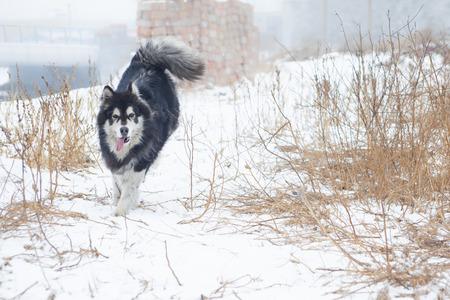 snow ground: Alaskan malamute on the snow ground Stock Photo
