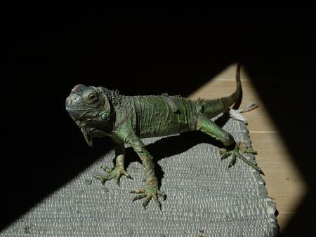 bask: Iguana basking in the sun