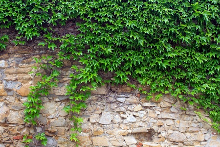 ivy wall: The green ivy on a stone wall, a beautiful background